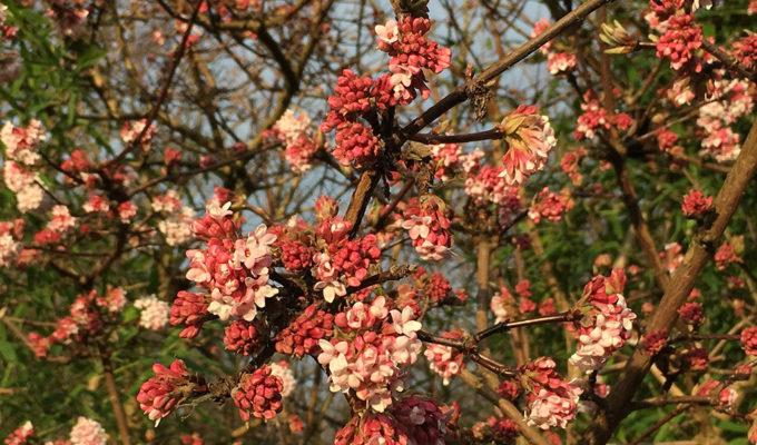 Winterbloeiende Viburnum X Bodnantense 'Dawn', Haarlemmer Kweektuin