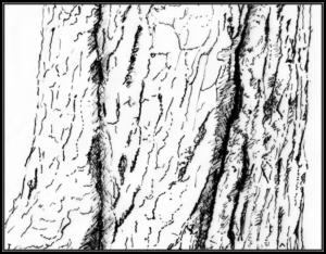 Aesculus hippocastanum, witte paardenkastanje met gespierde blote bast
