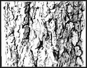 De stam van de gladde iep of Ulmus minor is alles behalve glad: kurklijsten