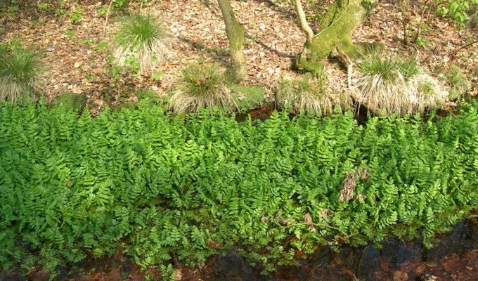 Landgoed Middachten, Bronbos Met Kwel En Watereppe, 2007