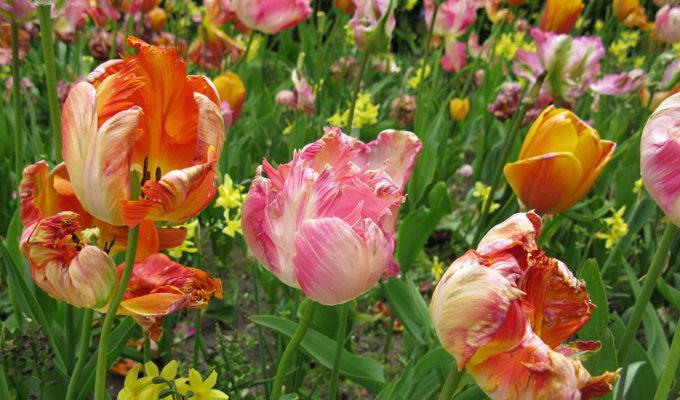 Tulpen Tuin Rijksmuseum