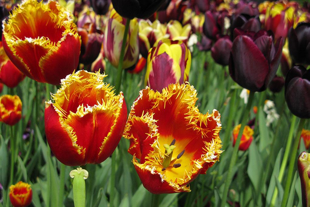 Psychedelische Tulpen