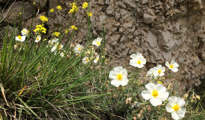 Helianthemum Apenninum - Zonneroosje - Langs De Weg Naar Rivisondoli
