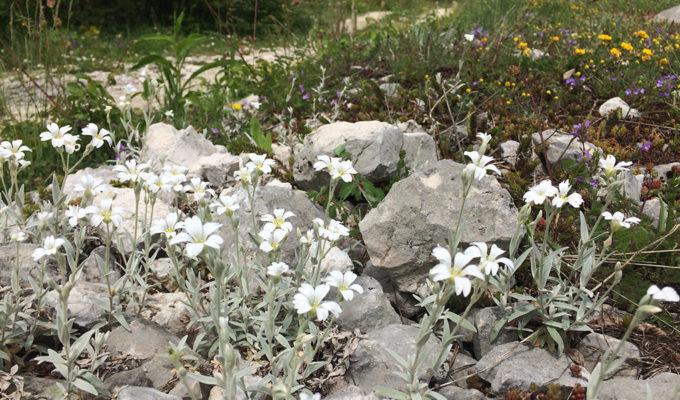 Cerastium Tomentosum Nabij Roccacaramanico
