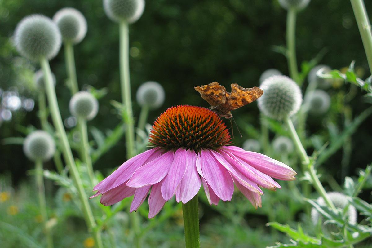 Gehakkelde Aurelia Op Echinacea