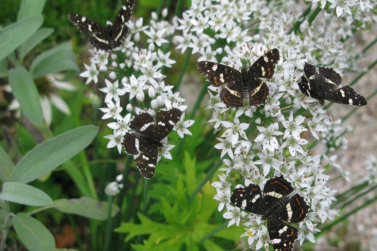 Landkaartjes Op Allium Tuberosum