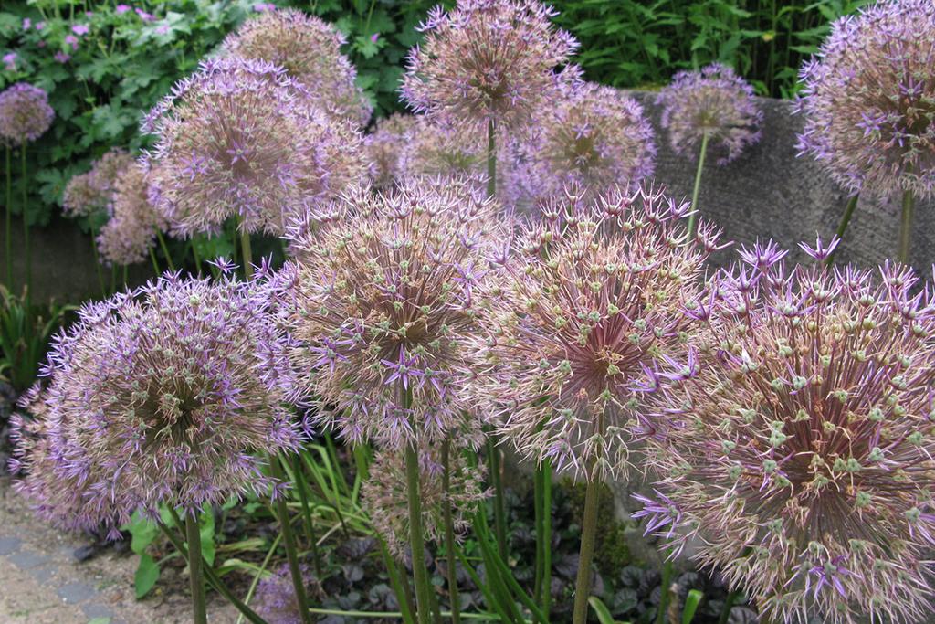 Allium Christophii, Sierui, Sterrenlook, Sierui, Sterrenlook