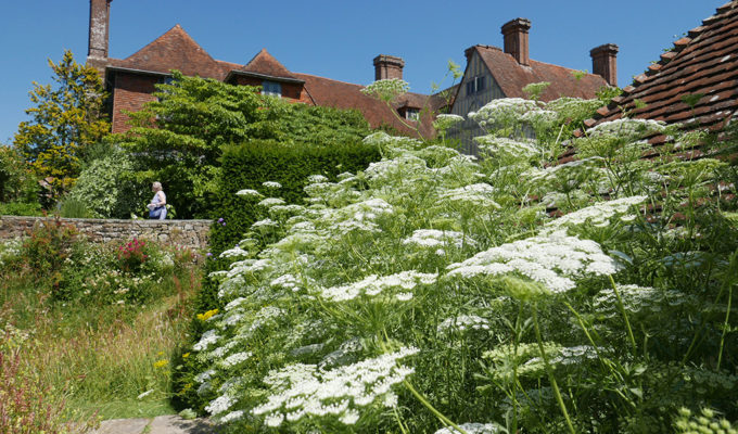 Great Dixter Ammi Majus