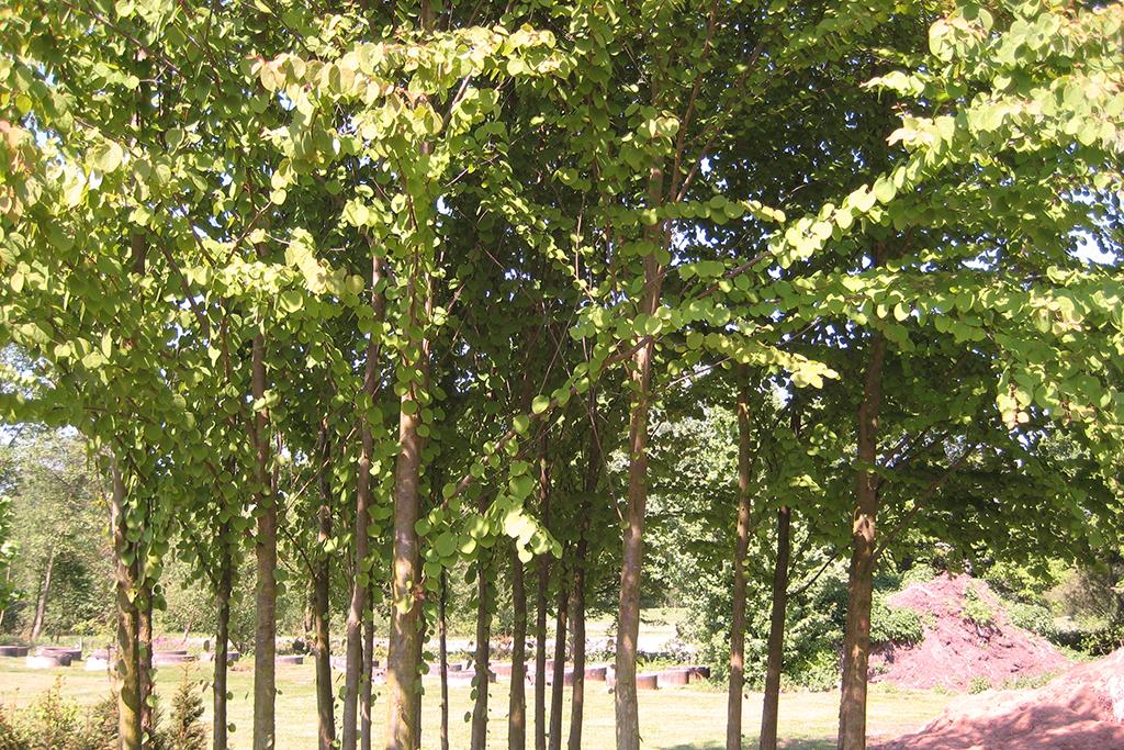 Koekjesboom Cercidiphyllum