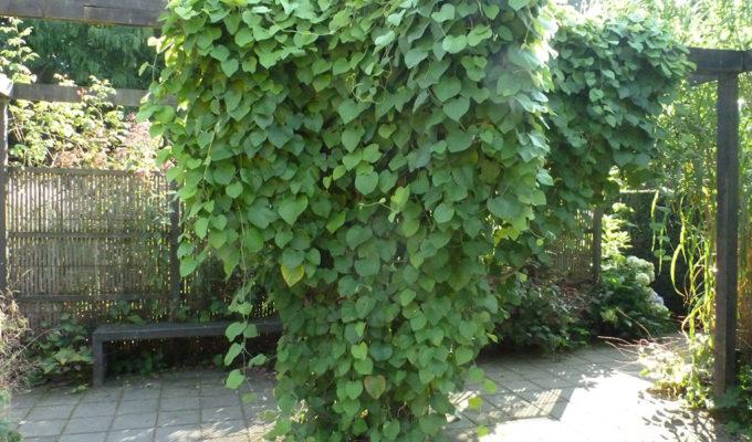 Aristolochia Macrophylla Of Durior Tuinen Mien Ruys