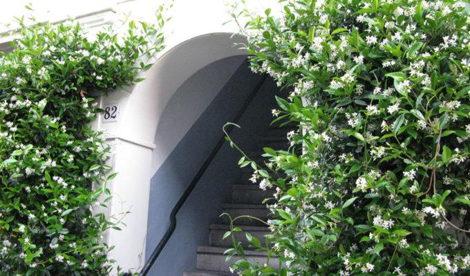 Trachelospermum-jasminoides,-Toscaanse-jasmijn