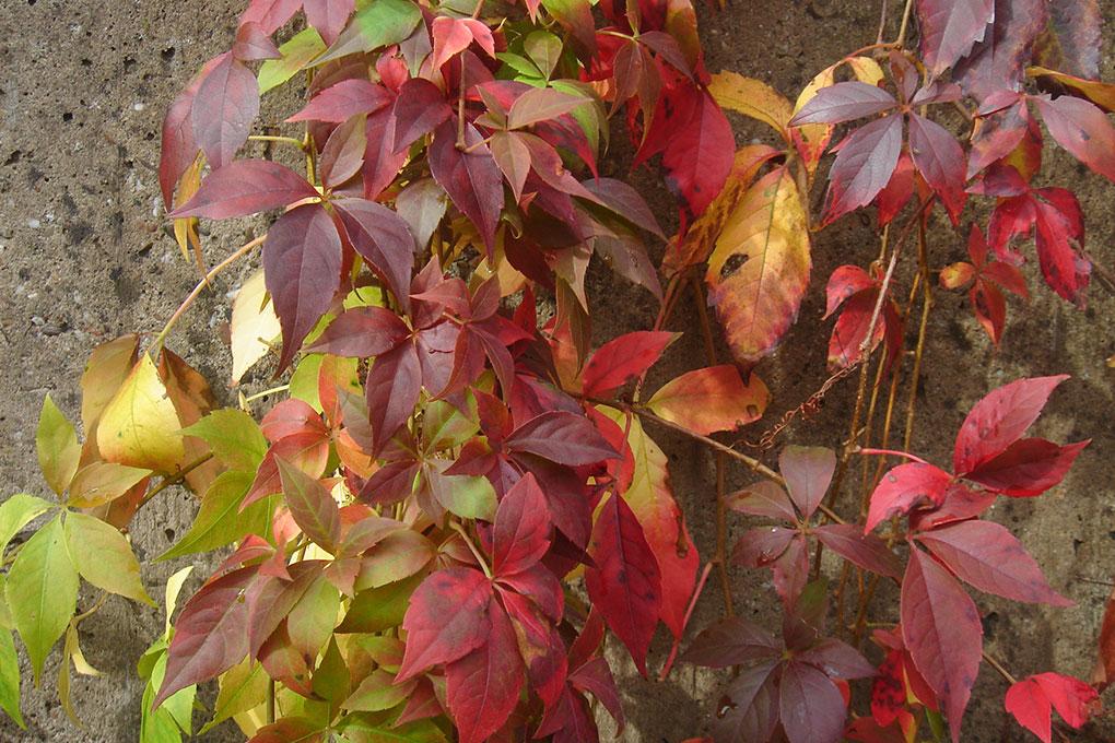 Parthenocissus-quinquefolia-'engelmannii'_blad