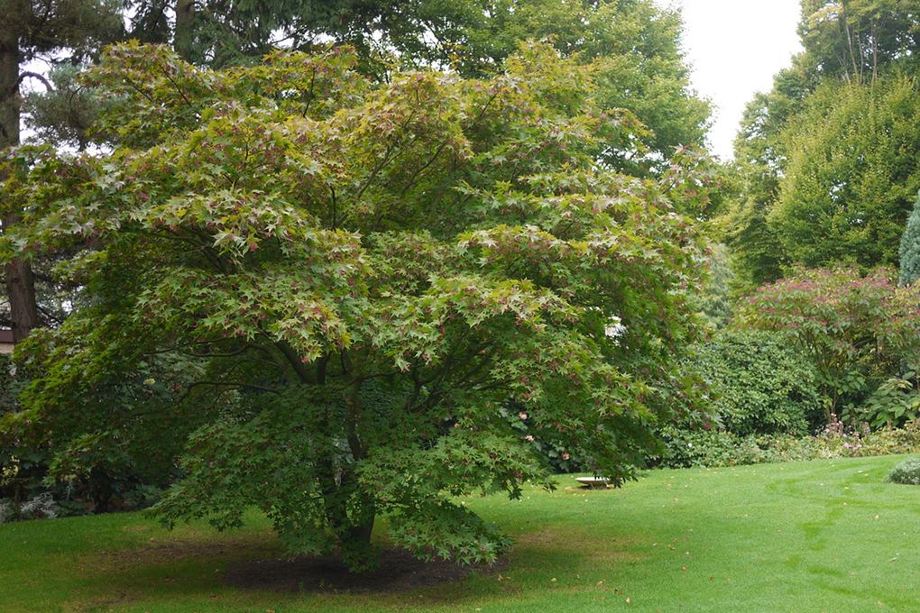 Acer-palmatum-Japanse-esdoorn