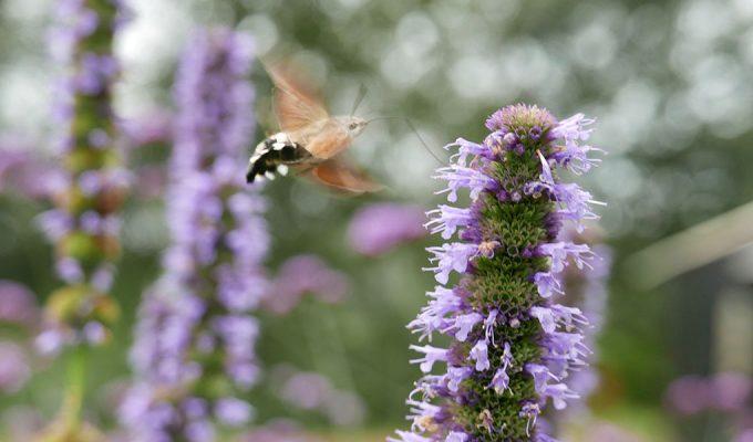 Kolibrievlinder / 'onrust'