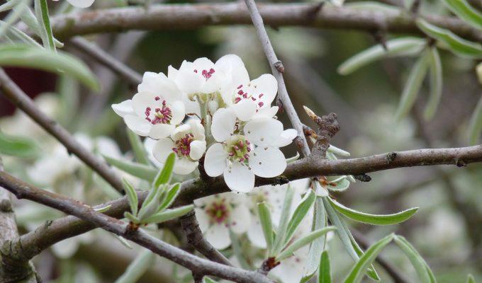 Bloeiende Pyrus Salicifolia